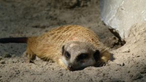 Lazy Meerkat by Teuril