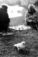 chess players bird by lloydhughes