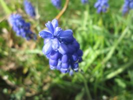 Blue flowers by kovaccarter