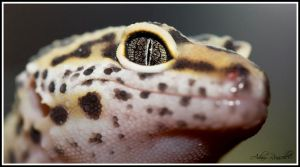 Leopard Gecko by ARphotographs