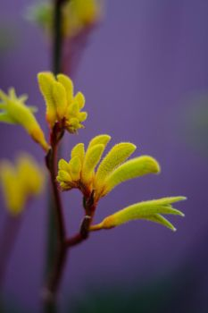 Kangaroo Paw Flower by patchoulipatch