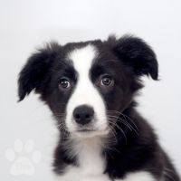 Ilou Border Collie by roon1305