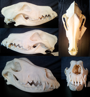 Dobermann skull by shinigami-taxidermy