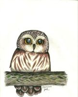 Saw Whet Owl by MadCanuckster