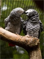2 parrots kissing by Constant-Wegman