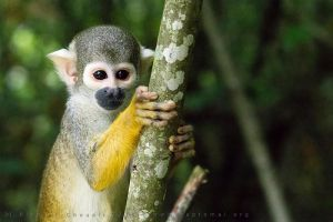 Squirrel Monkey by haptomai