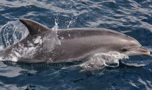 Offshore Bottlenose Dolphin by Oracle88