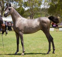 STOCK - TotR Arabians 2013-513 by fillyrox