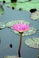 Water Lily by CASPER1830