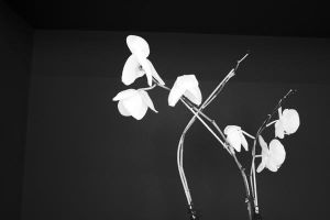 Orchids, Black and White by dpt56