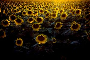 Sunflower Feild. by Dimentichisi