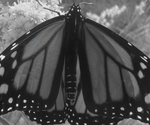 Butterfly Black and White by paws720