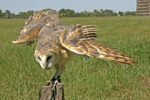 Barn Owl Wing Display by Kippenwolf