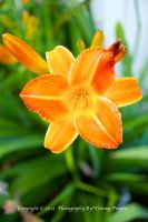 Orange Lily 0910 by TommyPropest-Candler