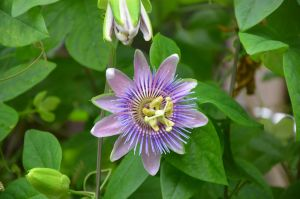 passionflower by mimose-stock