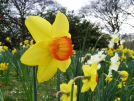 .stock: daffodil 4. by guavon-stock