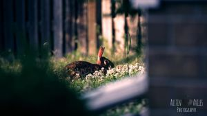 Rabbit at Dusk by OneOfLifesMysteries