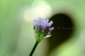 Chive in Bloom by Tricia-Danby