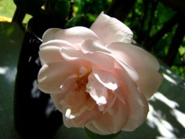 Stock 318: light pink rose by AlzirrSwanheartStock