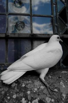 Dove I by clairehelen