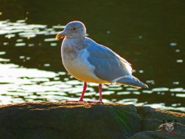Seagull Resting Upon Rocks At Water by wolfwings1
