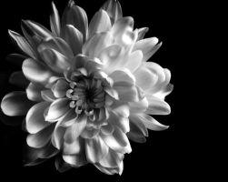Chrysanthemum by ilovejolie86