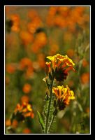 Orange Fields Forever... by TeaPhotography