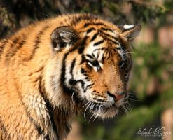 Young Tiger portrait by MorganeS-Photographe