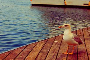 Seagull by st277