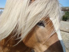 Haflinger Stallion 10 by Kaji-Onna