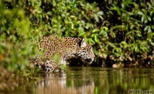 Wading Jaguar by willbl