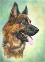 German shepherd. Pencils by alartstudio