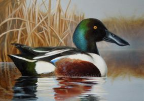 Northern Shoveler by Misted-Dream