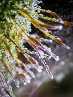 Frost Moss by iriscup