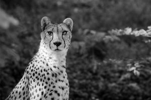 Cheetah V by werram