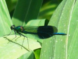 Calopteryx splendens by Jack-In-The-Green