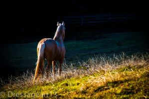 horse in golden field by dressageart13