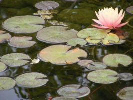 Water Lily 2 by Christazee