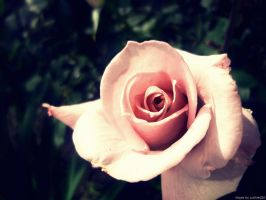 Romantic rose by Iulia-Oprinesc