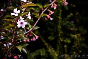 Last of the blossom - Day 123 - 03/05/13 by oEmmanuele