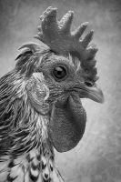Rooster by amai911