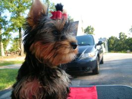 Look to the Wind. by Show-us-Yorkies