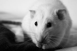 Ratty by Sian44