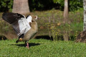 Egyptian goose stretching its wings by LordMajestros