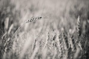 wheat field III by torobala