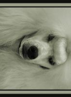 POODLE FRONT by CRYSTALSPICS