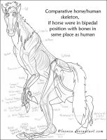 Horse Anthro Anatomy by Leonca