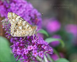 Painted Lady on Buddleia by AnnaKirsten