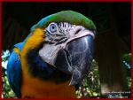 Blue and Yellow Macaw. by deaths-discomfort