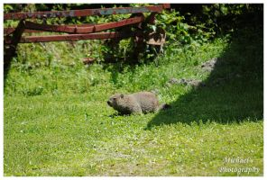 A Groundhog by TheMan268